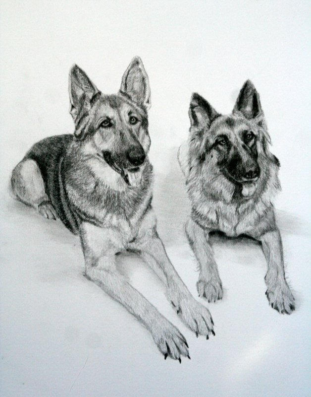 Graphite Pencil Shepherd Dog Portrait by Julie A. Brown - Keady and Blue